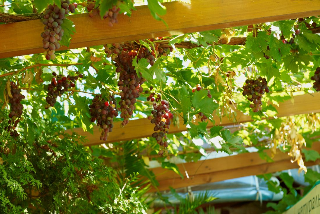 Grapevine Plant Covering
